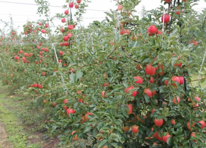 原りんご園のシナノドルチェ