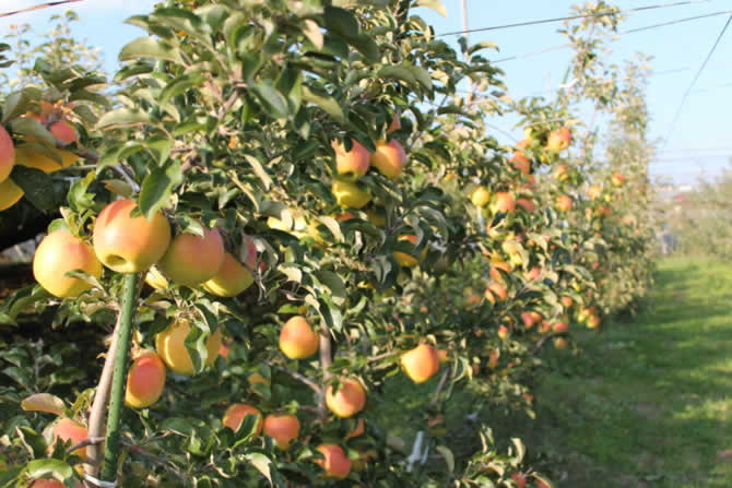 原りんご園のぐんま名月