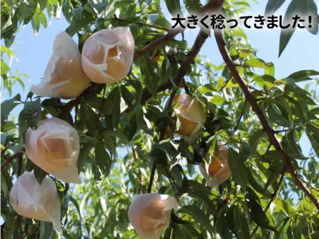 信州まつかわの梨(幸水・豊水)