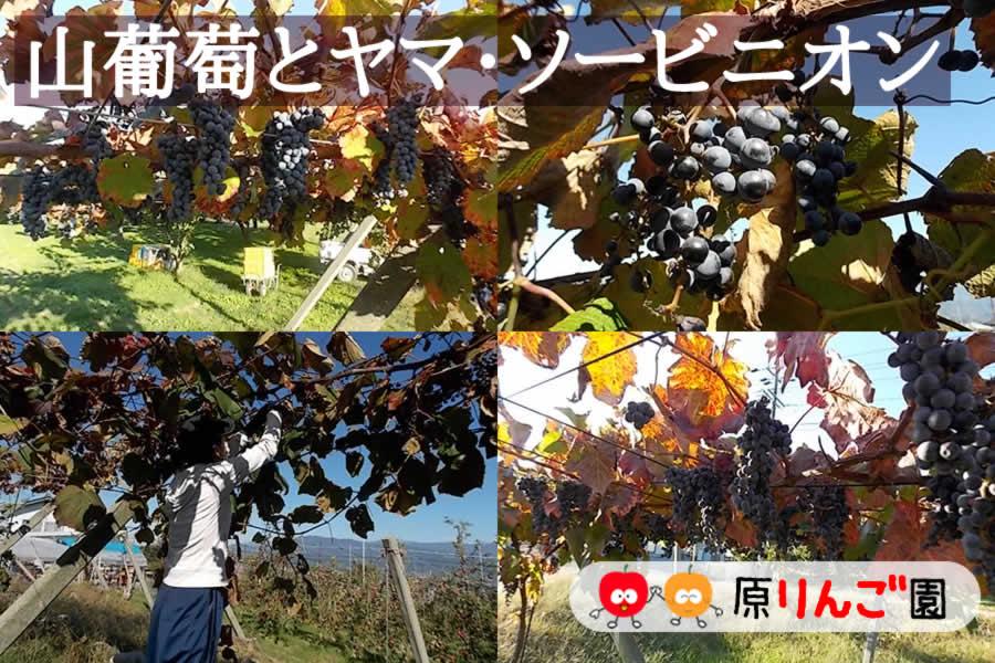 山葡萄ワイン 山葡萄ワイン「源(Hara)」