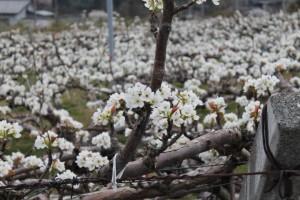 南水梨の花
