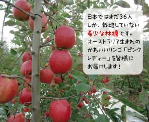 日本ではまだ36人 しか、栽培していない 希少な林檎です。 オーストラリア生まれの かわいいリンゴ「ピンク レディー」を皆様に お届けします!